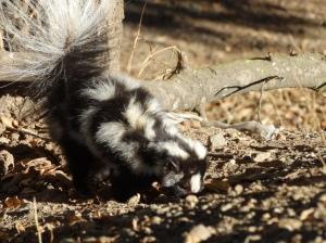 Noelle's new little skunk friend